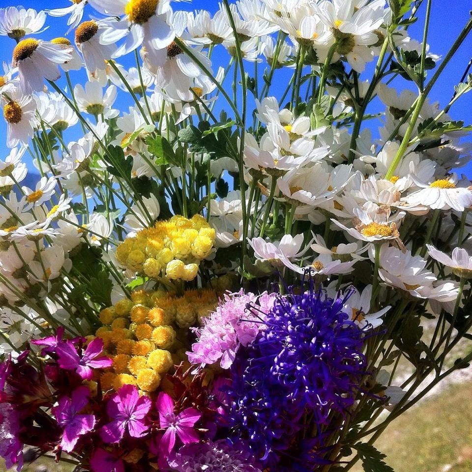 Anzer florası