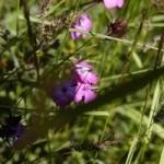 Anzer Çiçekleri - 11