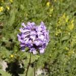 Anzer Çiçekleri - 14