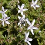Anzer Çiçekleri - 19
