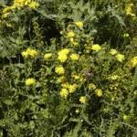 Anzer Çiçekleri - 8