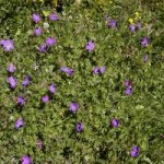 Anzer Çiçekleri - 9