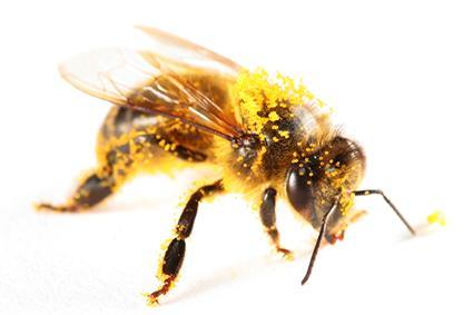 polen Arısı