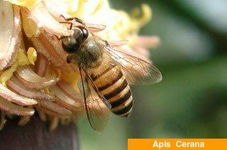 arı ırklari