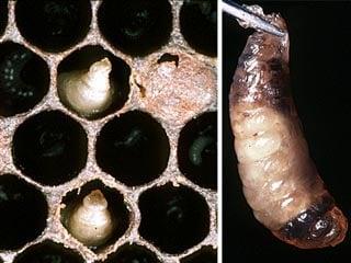 arılarda torba hastaliği