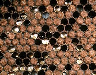arılarda kireç hastalığı