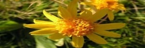 anzer -çiçekleri