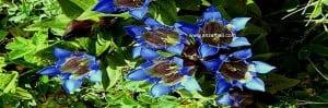 anzer endemik çiçek