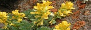 anzer çiçekleri