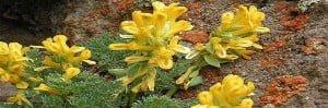 anzer florasi