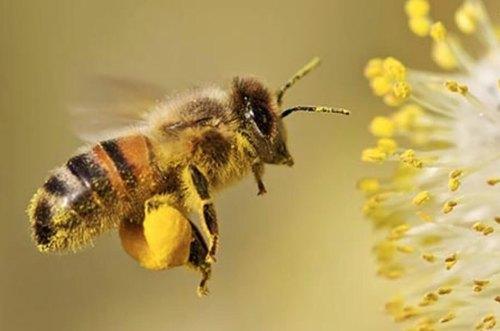 arı poleni toplanması