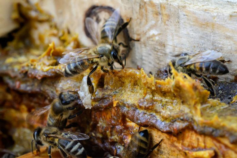 arılar propolisi kovanı sağlamlaştırmak için kullanırlar