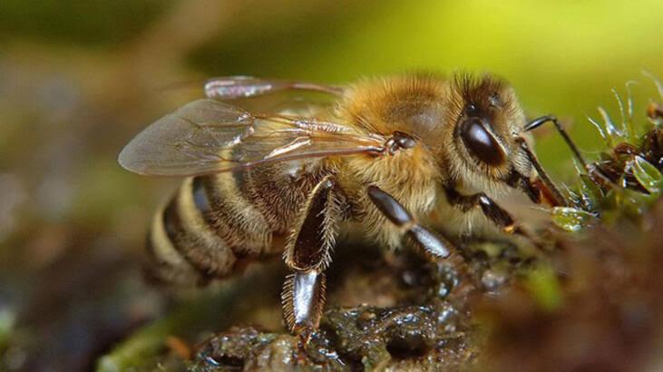 Bal arısı cinsi Kafkas arısı