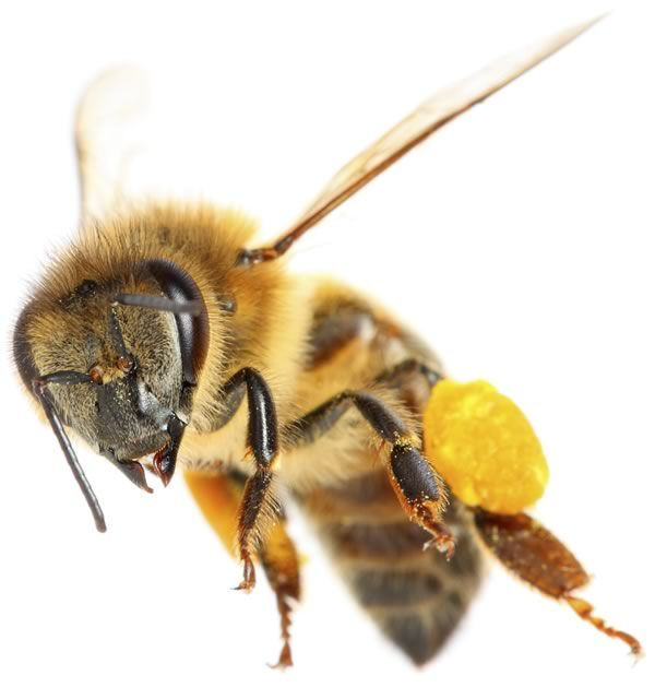 Çiçeklerden toplanan poleni arı taşıyor